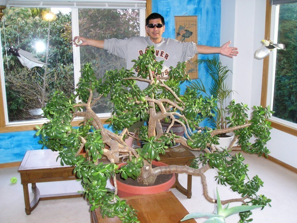 Jade Plants,Bonsai Jade Plants, How to grow Jade Plants-Largest indoor Jade Plant in the World,Jade Plant Care Instructions: How To Care For A Jade Plant